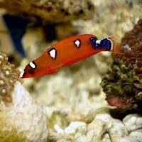 Ikan Hias Air Laut Keling Merah