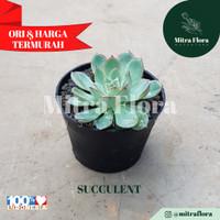 Succulent Sedang