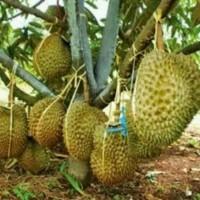 Fprt Bibit Tanaman Buah Durian Montong Super Jumbo