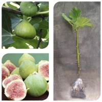 Clen Bibit Cangkok Pohon Buah Fig Tin Ara Jenis White Genoa