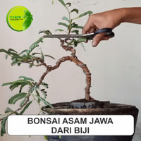 Biji Asem Jawa Super Untuk Bonsai 1kg