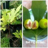 F!Xx Bibit Pohon Buah Tin/Ara/Fig Jenis Green Yordan