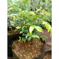 Bibit Bonsai Kupa Landak Anggur Brazil