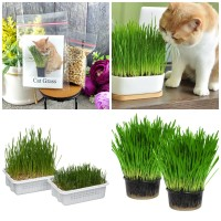 500 Seeds - Cat Grass Seed Biji Benih Bibit - SR0031