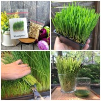 500 Seeds - Wheatgrass Seed Biji Benih Bibit - SR0032
