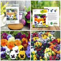 6 Seeds - Pansy Swiss Giant Mix Haira Seed Biji Benih Bibit - SR0025