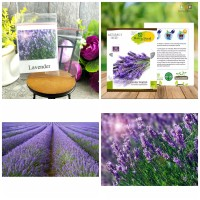 5 Seeds - Lavender English Haira Seed Biji Benih Bibit - SR0029