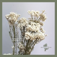 Dried Rice Flower Bunga Kering Asli Hiasan Dekorasi Pajangan tangkai