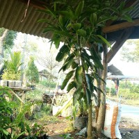 bibit buah mangga gajah