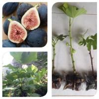 Bibit Cangkok Pohon Buah Fig Tin Ara Jenis Black Mission
