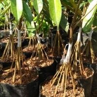 Jual Durian Musangking Di Bandung Harga Terbaru 2020