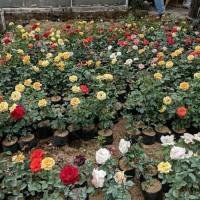 tanaman hias bunga mawar - pohon bunga mawar