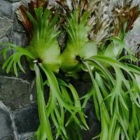 tanaman hias tanduk rusa - Pohon tanduk rusa - tanaman gantung