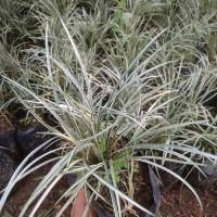 rumput kucai mini varigata - tanaman hias kucai varigata - kucai mini