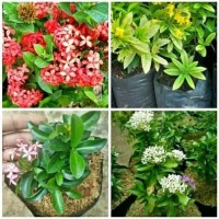 paket 4 tanaman hias asoka - paket hemat - Asoka kuning - pink - putih