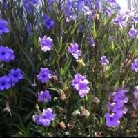 tanaman hias rawelia bunga ungu - rowelia bunga ungu