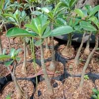 tanaman hias adenium - bibit pohon kamboja jepang