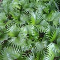 tanaman hias palem bintang - pohon palem