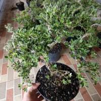 bonsai mini varigata mirten murah