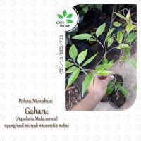 Bibit Pohon Gaharu Aquilaria Malaccensis Bibit Gaharu Pohon Kayu
