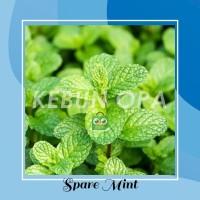 Daun Mint Bibit Benih Tanaman Mint Hidup spearmint infuse water