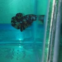 ikan cupang nemo leopard TOP grade