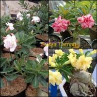 Paket 3 Tanaman Adenium Bunga Tumpuk-Bibit Kamboja Jepang Bunga Tumpuk