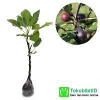 Bibit tanaman Buah Tin Negrone 40cm siap berbuah