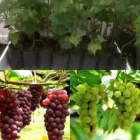 Bibit Tanaman Pohon Anggur Bibit Anggur Tanaman Anggur Buah lokal