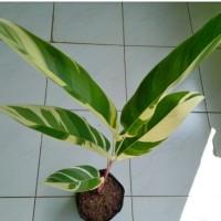 Tanaman Hias Heliconia Lady Varigata
