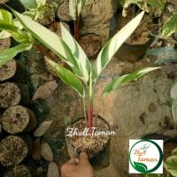 tanaman hias pisang pisangan heliconia variegata