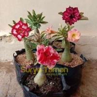 Paket 5 Tanaman Hias Adenium Bunga Tumpuk-Adenium
