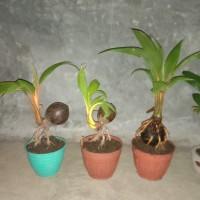 bonsai kelapa mini/daun kerdil