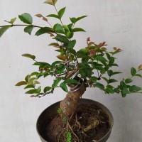 Bonsai Anggur Brazil