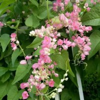 tanaman rambat air mata pengantin bunga pink bibit taneman