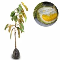 Jual Bibit Tanaman Durian Bawor kaki 1