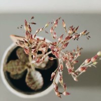 ☘️ succulent kalanchoe humilis + handmade pot