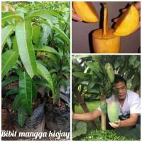 Bibit mangga (kiojay) unggul dan bibit hsl okulasi siap buah.