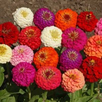 4 Seeds - Zinnia Liliput Mixed Haira Seed Biji Benih Bibit - SR0041