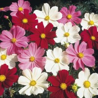 4 Seeds - Cosmos Dwarf Mix Haira Seed Biji Benih Bibit - SR0040