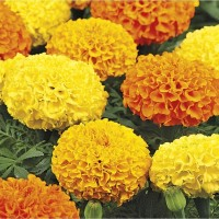 10 Seeds - Marigold Cracker Jack Haira Seed Biji Benih Bibit - SR0036