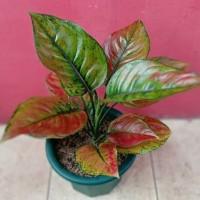 bibit bunga aglonema red Heng-heng super
