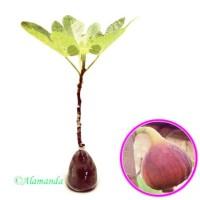 TERMURAH bibit tanaman buah tin purple ara