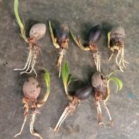 bahan bonsai kelapa akar panjang dan tunas panjang