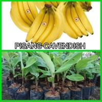 Bibit Pisang Cavendish Pohon Pisang Cavendish Tanaman Pisang Cavendish
