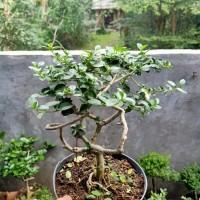 tanaman bonsai sancang