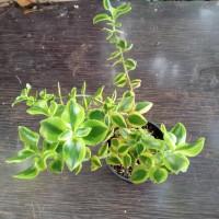tanaman hias succulent crassula sarmentosa+pot