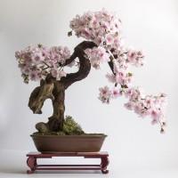 Benih / Bibit / Biji Sakura Yamazakura Tree for Bonsai Seeds - IMPORT