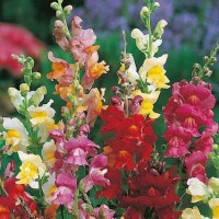 50 Seeds - Antirrhinum Snappy Tongue Mr Fothergill's Biji - SR0050