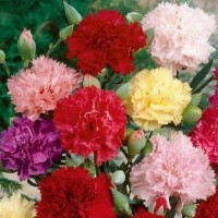 8 Seeds - Carnation Double Mixed Mr Fothergill's Biji Benih - SR0049